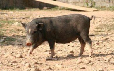 Asiatisches Schwein © Sulabaja - Fotolia.com