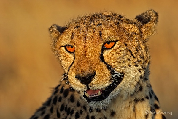 Cheetah im Abendlicht auf der Farm Ojitotongwe  Namibia Mai 2005 @ fotofeeling
