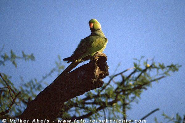 Halsbandsittich im Keoladeo Ghana National Park - Indien © Volker Abels