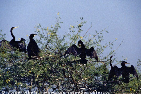 Schlangenhalsvogel und Kormorane beim Flügeltrocknen Bharatpur Vogelreservat - Indien © Volker Abels