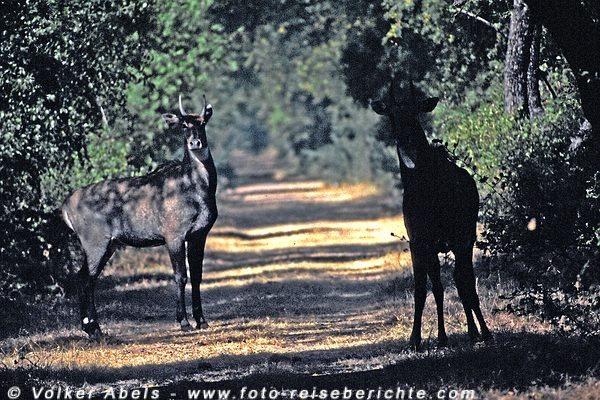 Nilgauantilopen im Keoladeo Ghana National Park - Indien © Volker Abels
