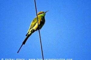 Bienenfresser im Bharatpur Vogelreservat - Indien © Volker Abels