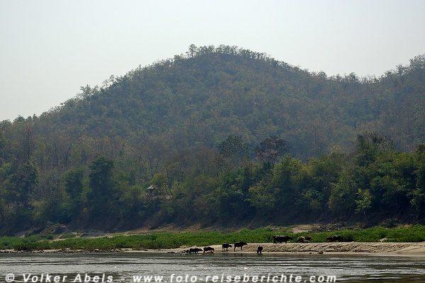 Wasserbüffel am Mekong in der Nähe der Pak Ou Höhlen bei Luang Prabang in Laos © Volker Abels