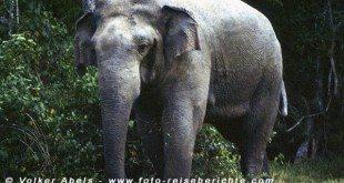 Wilder Elefant im im Lahugala-Nationalpark, Sri Lanka © Volker Abels