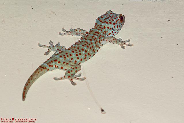 Der Tokke oder Tokeh ist ein Echse die in den Tropen weit verbreitet ist. www.foto-reiseberichte.com