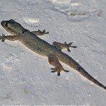 Geckos in der Nacht - Erfahrungen mit den kleinen Echsen