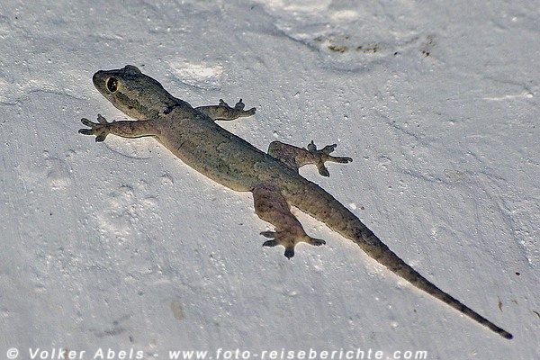 Gecko © Volker Abels