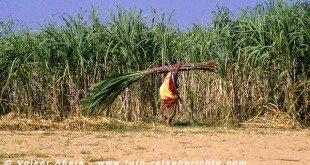 Eine Frau schleppt Zuckerrohr bei Pushkar in Rajasthan - Indien © Volker Abels