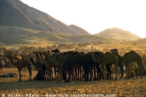 Kamele in Pushkar in  Rajasthan - Indien © Volker Abels