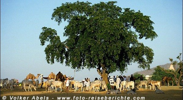 Vieh-und Kamelmarkt in Pushkar, Rajasthan - Indien © Volker Abels