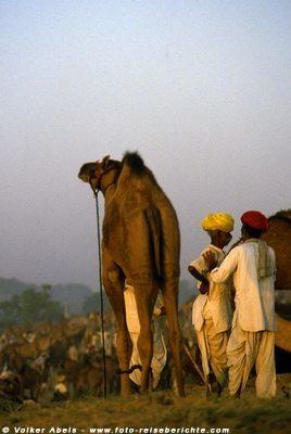 Kamelmarkt in Pushkar, Indien - foto-reiseberichte.com © Volker Abels