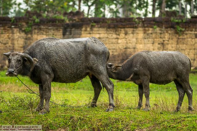 Asiatischer Wasserbüffel mit Jungtier © Volker Abels - www.foto-reiseberichte.com