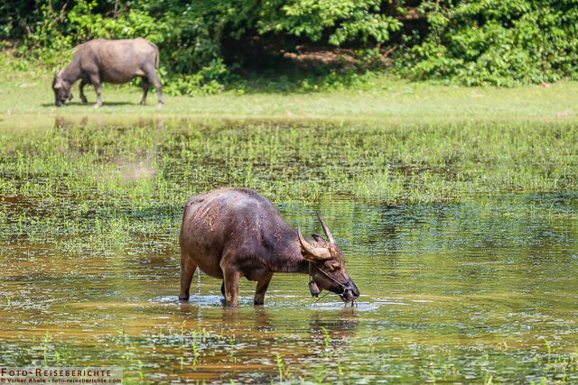 Asiatischer Wasserbüffel in Kambodscha beim Trinken © Volker Abels - www.foto-reiseberichte.com