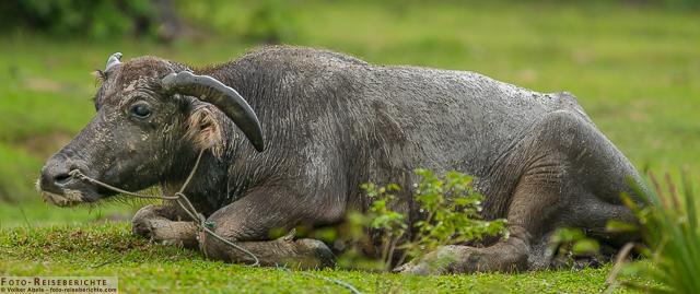 Liegender Wasserbüffel © Volker Abels-www.foto-reiseberichte.com
