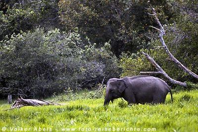 Wilder Elefant © Volker Abels