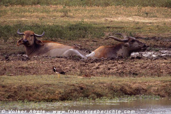 Wilde? Wasserbüffel im Yala Nationalpark, Sri Lanka © Volker Abels