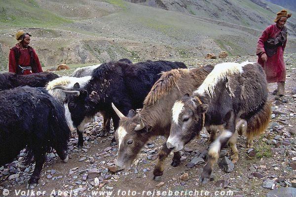 Die Herde wird zu den Zelten getrieben © Volker Abels