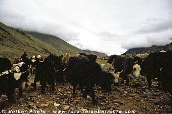 Eine Herde mit Yaks bzw. Dzos kommt uns entgegen - Zanskar © Volker Abels