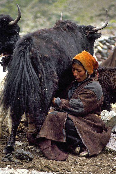 Die Yaks und Dzos liefern Milch und werden gemolken © Volker Abels