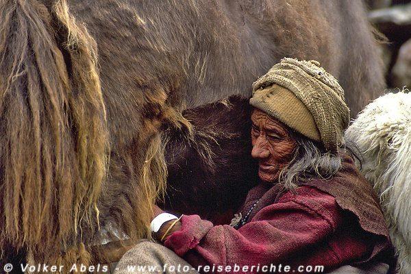 Auch die alte Frau melkt die Kühe © Volker Abels