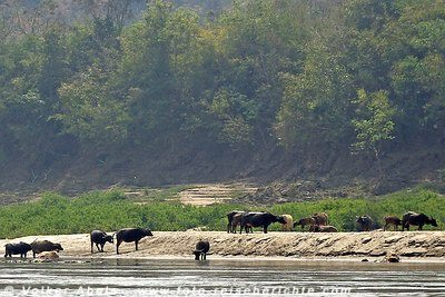 Wasserbüffel am Mekong. © Volker Abels