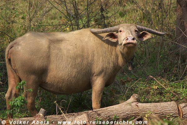 Domestizierter Wasserbüffel in Laos. © Volker Abels