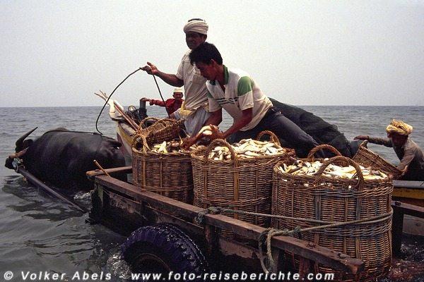 Drei große Körbe mit Fisch kann der Karren transportieren  - Malaysia bei Kuantan © Volker Abels