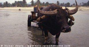 Wasserbüffel zieht einnen Karren ins Meer Malasia bei Kuantan © Volker Abels