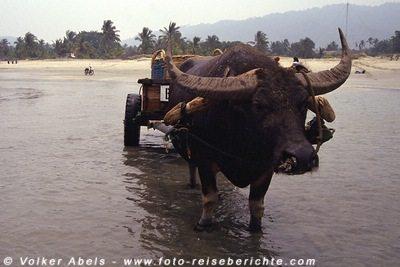 Wasserbüffel zieht einen Karren ins Meer Malaysia bei Kuantan © Volker Abels