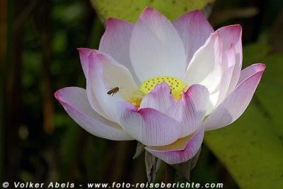 Lotusblume in Thailand © Volker Abels