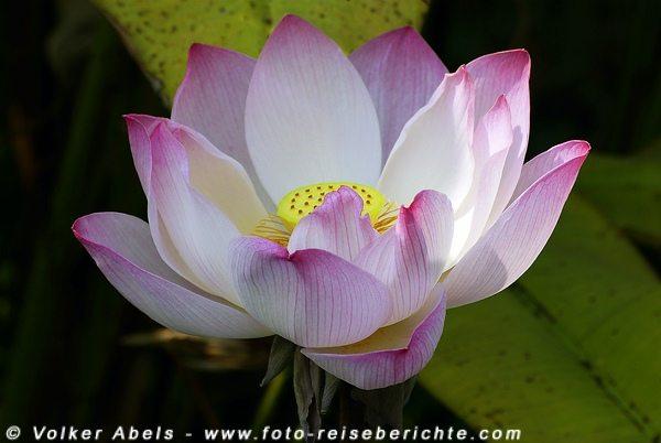 Lotuspflanze in Thailand © Volker Abels