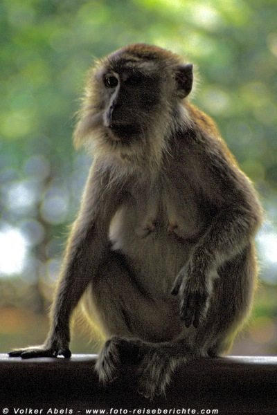 Langschwanz Makake im Bako Nationalpark, Sarawak - © Volker Abels