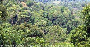 Regenwald in Sarawak © Volker Abels
