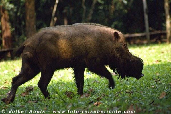 Wildschwein im Bako Nationalpark, Sarawak - © Volker Abels