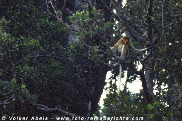 Nasenaffe im Bako Nationalpark - Sarawak, Borneo © Volker Abels