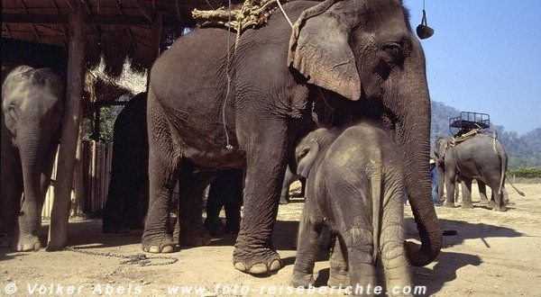 Elefanten im Mae Taman Elefantencamp bei Chiang Mai © Volker Abels