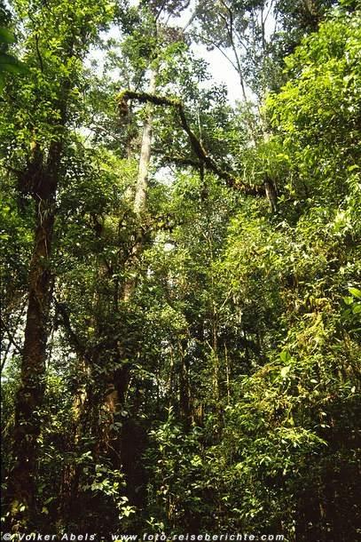 Dschungel in Sarawak - Borneo © Volker Abels