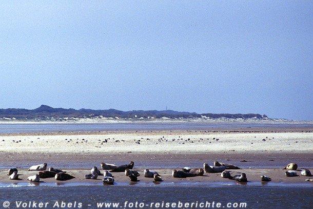Seehunde an der Nordsee © Volker Abels