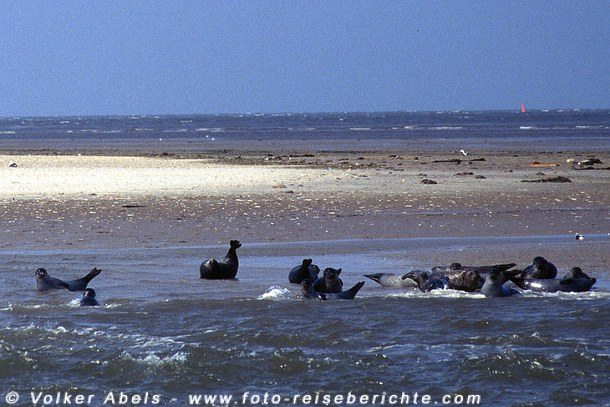 Photo of Seehunde in der Nordsee bei Neuharlingersiel