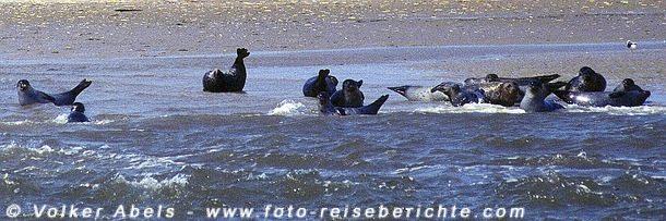 Seehunde in der Nordsee © Volker Abels