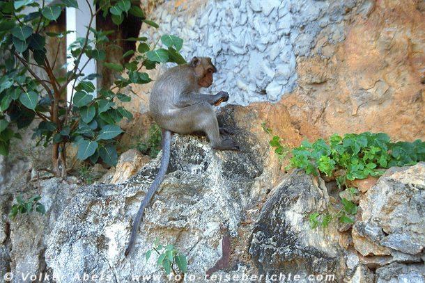 Makake in Prachuap Khiri Khan - Thailand © Volker Abels