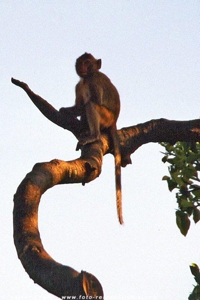 Makake in Thailand © Volker Abels