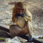 Wilde Affen in Thailand - Makaken in Prachuap Khiri Khan