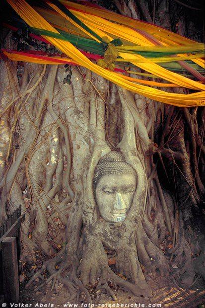 Buddhakopf in einem heiligen Baum - Ayutthaya © Volker Abels