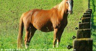 Pferd auf einer Koppel © Volker Abels
