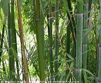 Bambus © Volker Abels