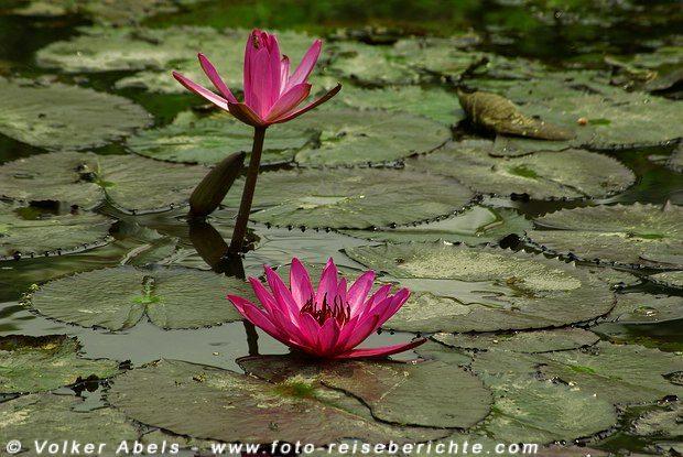 Wasserlilien in einem Wasserlauf bei Chiang Mai in Thailand - © Volker Abels