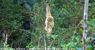 Gibbon in Thailand © Volker Abels