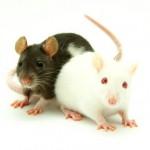 Ratten essen in Thailand