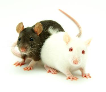 Zwei Ratten © Alekss - Fotolia.com